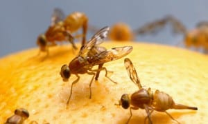 Female_Mexican_fruit_fly_insect