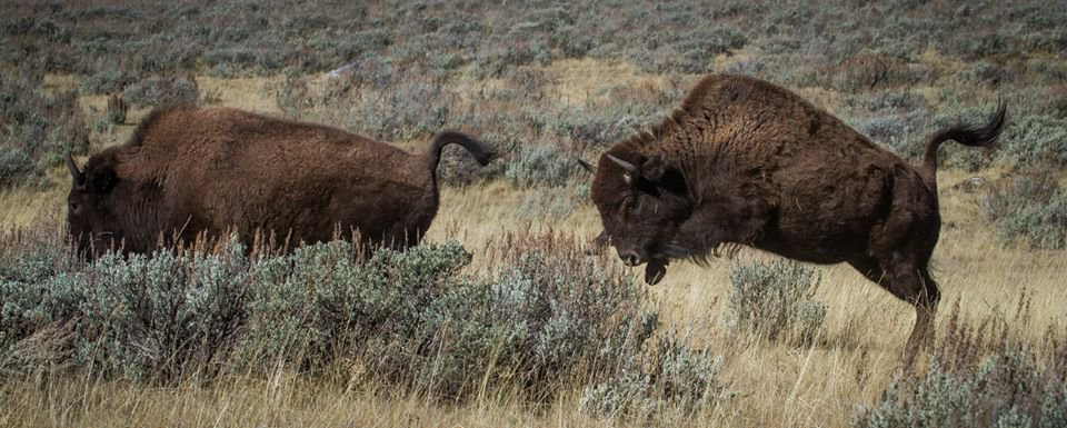Yellowstone-Bison-Duane-Huie