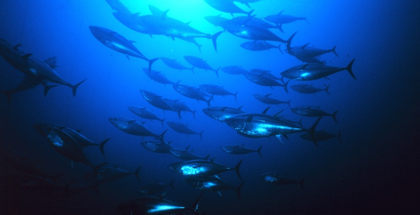 Group_of_tuna
