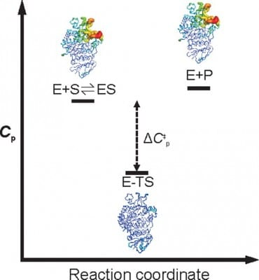 Image showing that it is the change in heat capacity associated with enzyme catalysis (ΔCp) that determines the temperature dependence of enzyme activity.